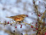 As the nights start drawing in and we awake to frosty mornings and snow topped hills, we welcome winter migrant birds visiting our shores.
