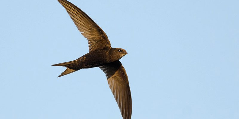 Swifts These incredible birds need our 