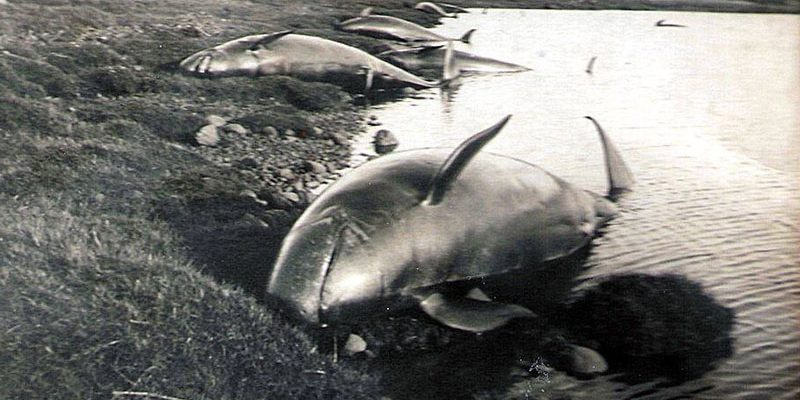 Stranded whales at Dornoch Firth In October 1927, a school of more than a hundred whales was stranded in the Dornoch Firth. A Zoologist of the Natural History Museum wrote this account.