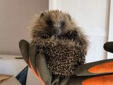 Hedgehogs in the Highlands have found new friends in Adrian and Nicky Knight who have created Highland Hedgehogs.