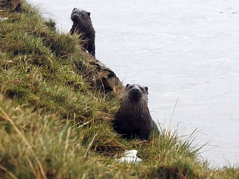 Otter watching for beginners